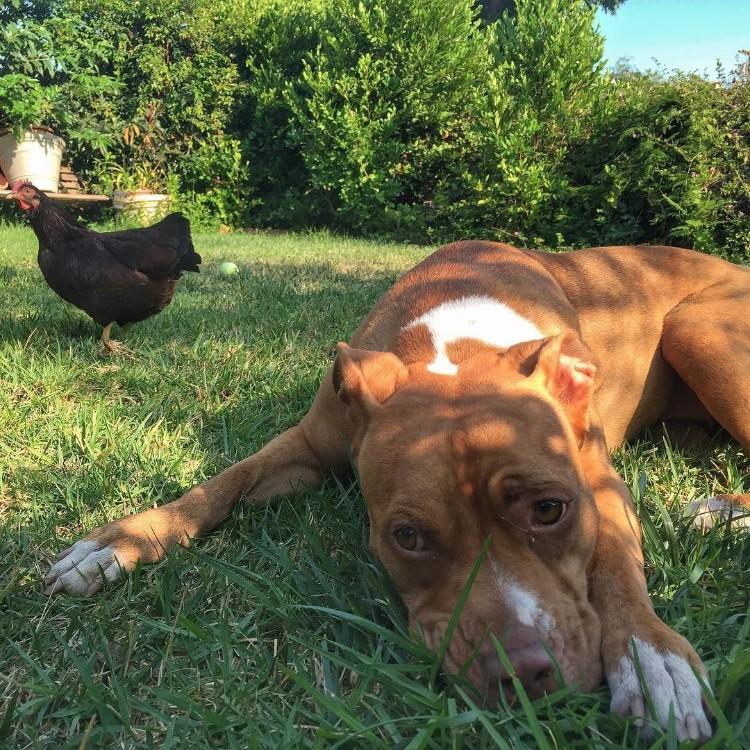 perro-gallina-amigos-04
