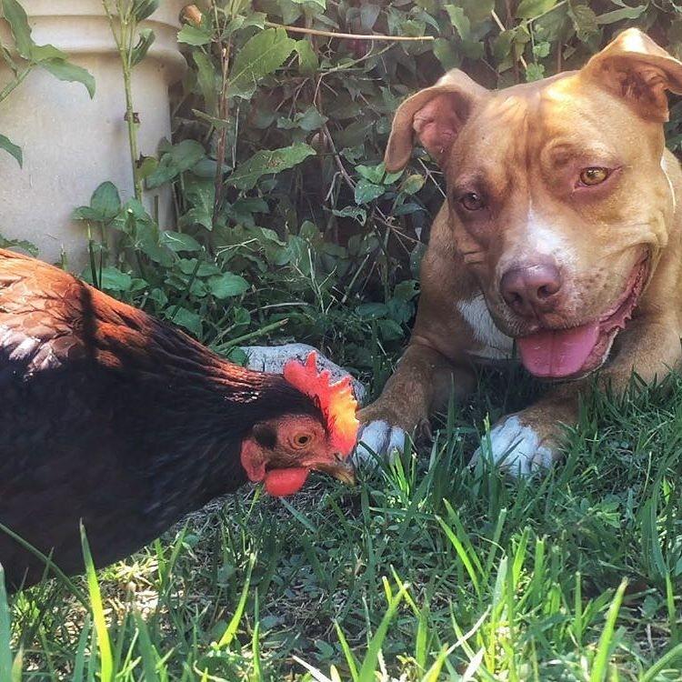 perro-gallina-amigos-06