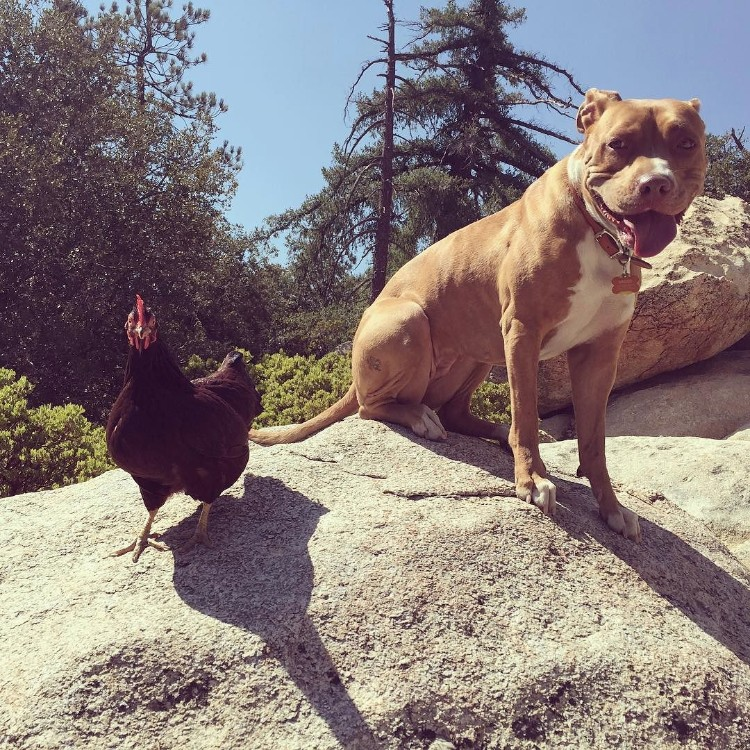 perro-gallina-amigos-10