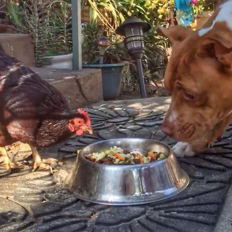 perro-gallina-amigos-11