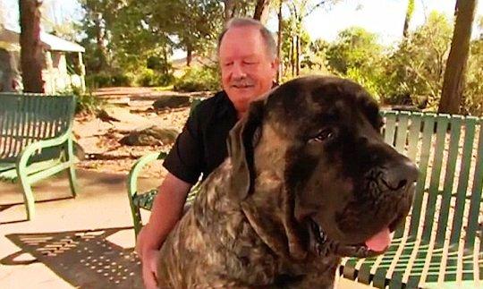 perro-grande-de-australia-7