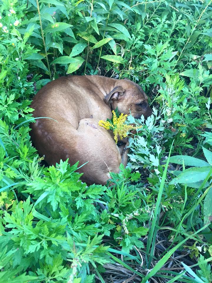 perro-pitbull-desechado-fue-dado-por-muerto-solo-quiere-estar-al-lado-de-su-heroe-1