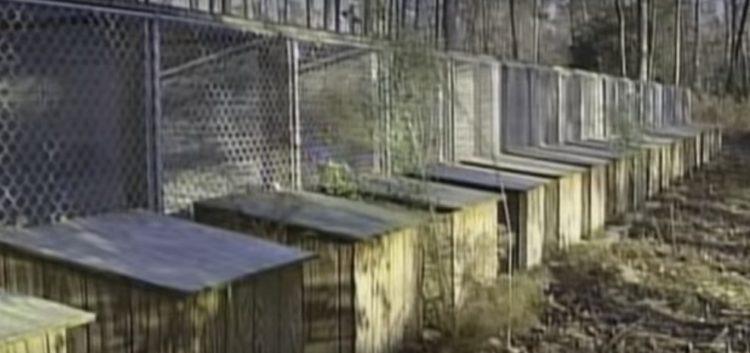 pitbull-rescatado-de-las-peleas-de-perros-11