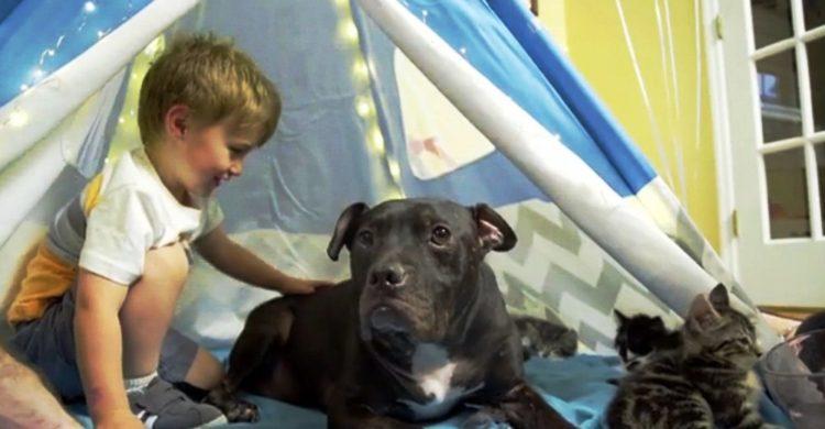 pitbull-rescatado-de-las-peleas-de-perros-12