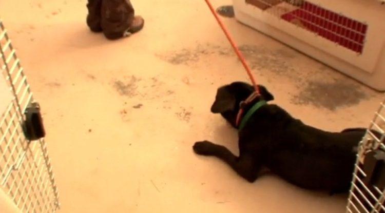 pitbull-rescatado-de-las-peleas-de-perros-13