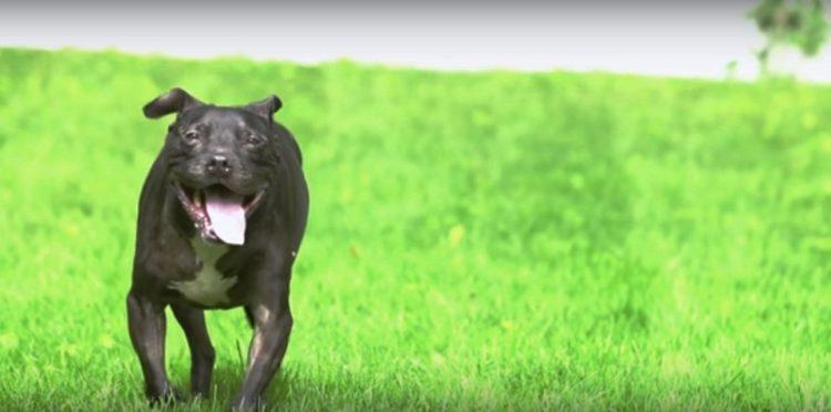 pitbull-rescatado-de-las-peleas-de-perros-16