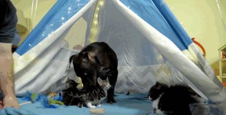 pitbull-rescatado-de-las-peleas-de-perros-2