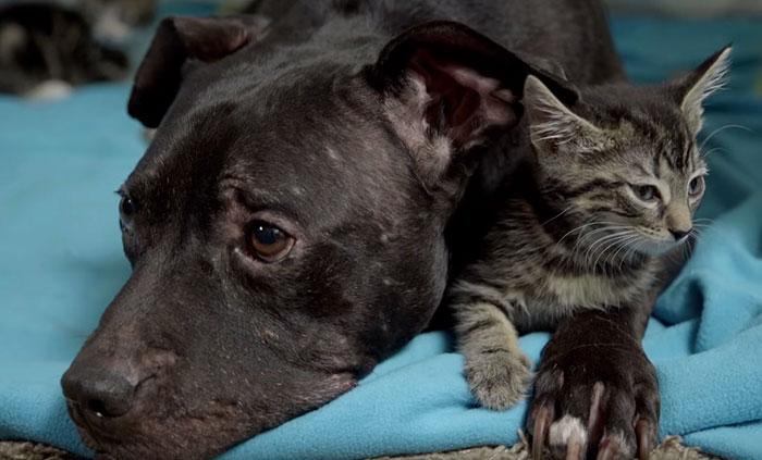 pitbull-rescatado-de-las-peleas-de-perros-4