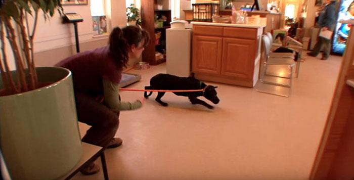 pitbull-rescatado-de-las-peleas-de-perros-7