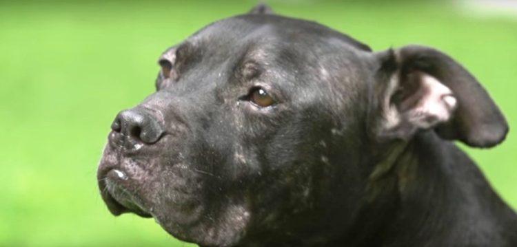 pitbull-rescatado-de-las-peleas-de-perros-9