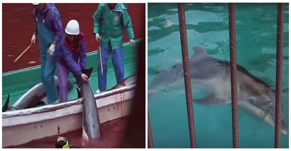portada-video-detener-masacre-de-delfines-temporada-de-caza-apoyar-proyecto-dolphin