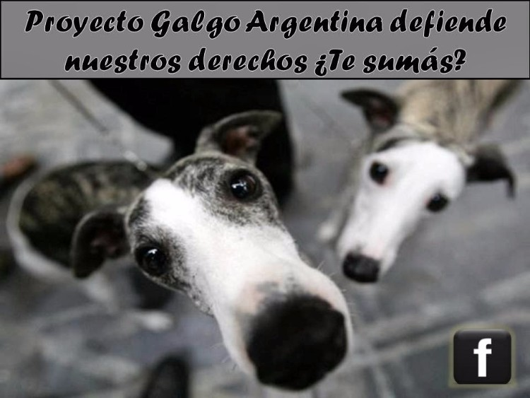 proyecto-galgo-argentina-06