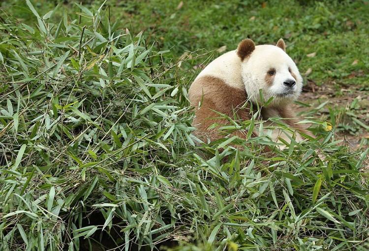 qizai-panda-marron-01