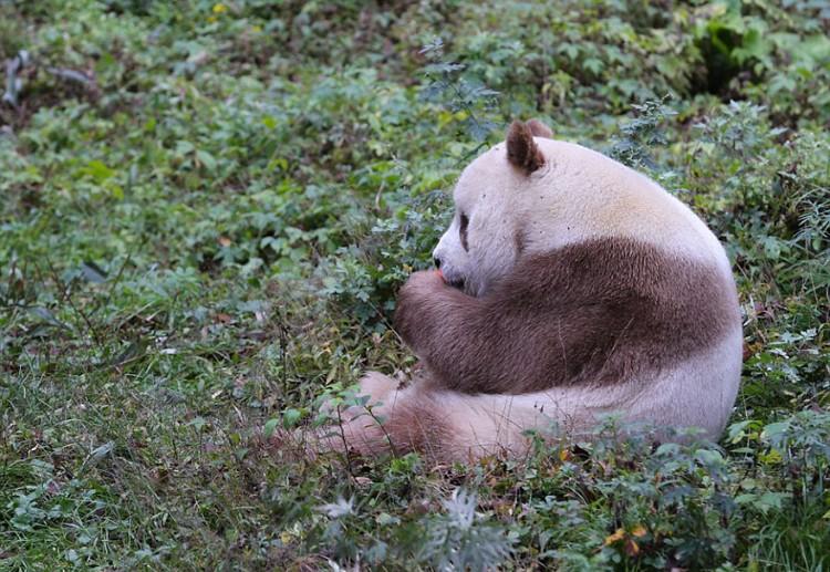qizai-panda-marron-02