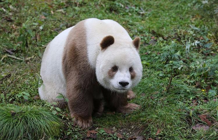 qizai-panda-marron-03