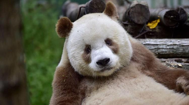 qizai-panda-marron-04