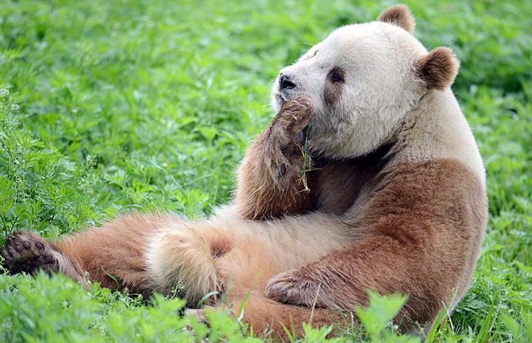 qizai-panda-marron-06