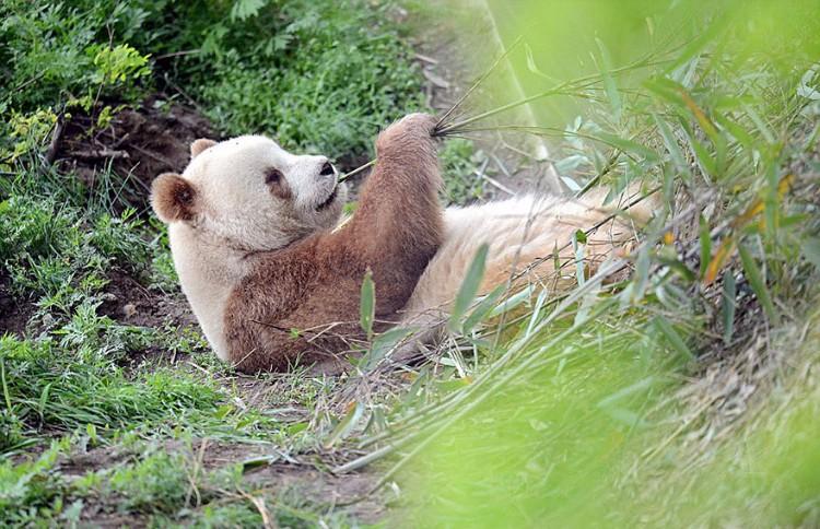 qizai-panda-marron-07