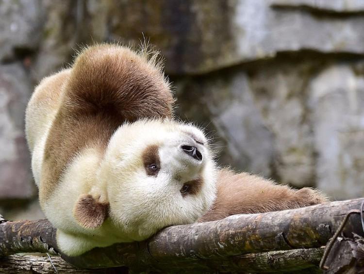 qizai-panda-marron-10