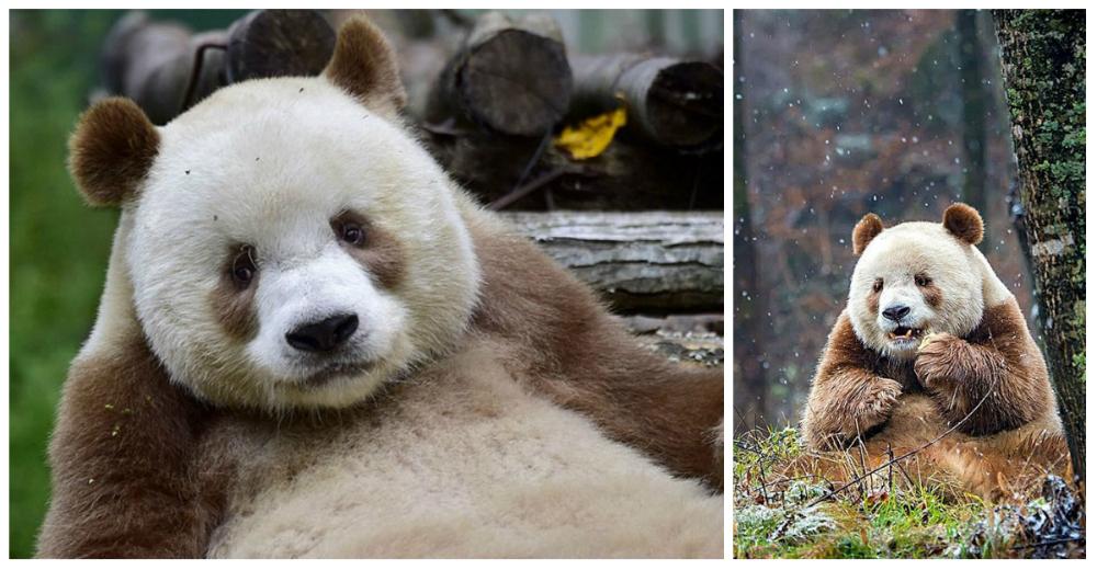qizai-panda-marron-portada