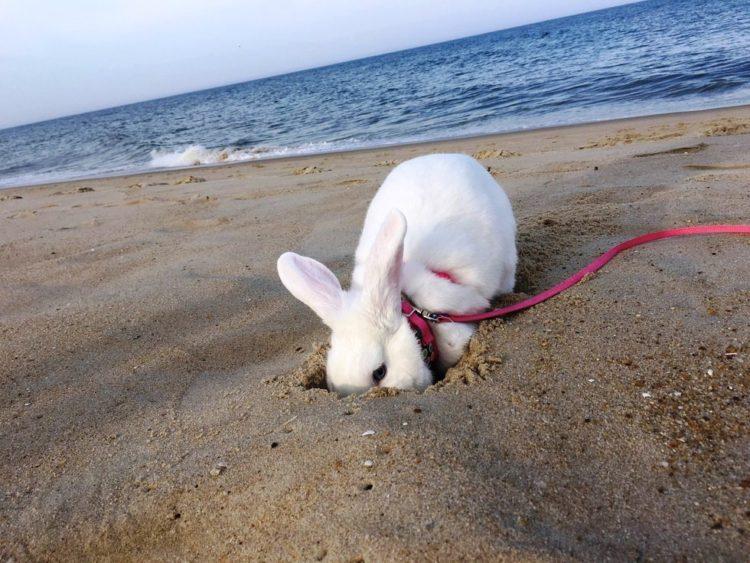 rescate-del-conejito-ama-a-sus-vacaciones-de-la-playa-4