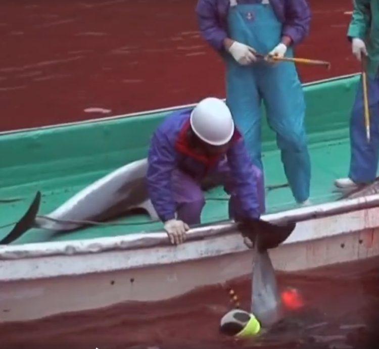 video-detener-masacre-de-delfines-temporada-de-caza-apoyar-proyecto-dolphin-10