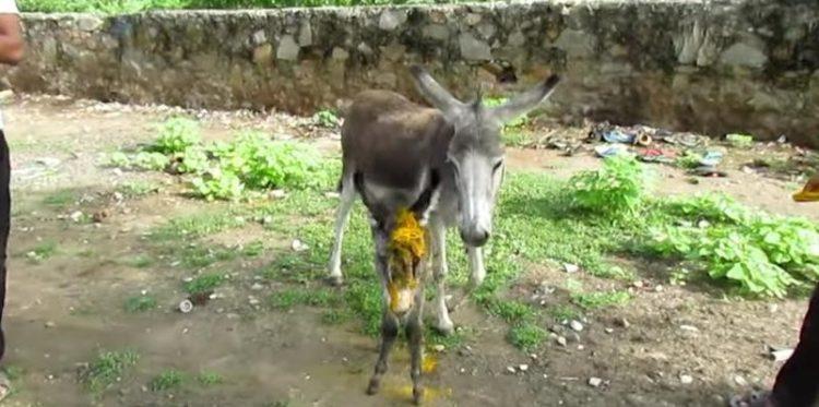 bebe-burro-malherido-2