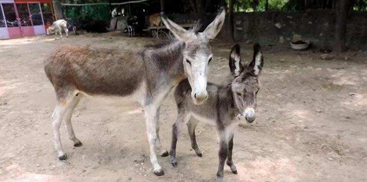 bebe-burro-malherido-8
