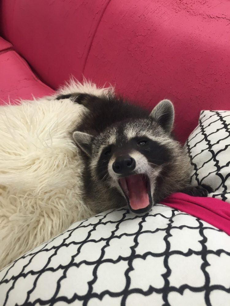 bebe-mapache-consentido-12