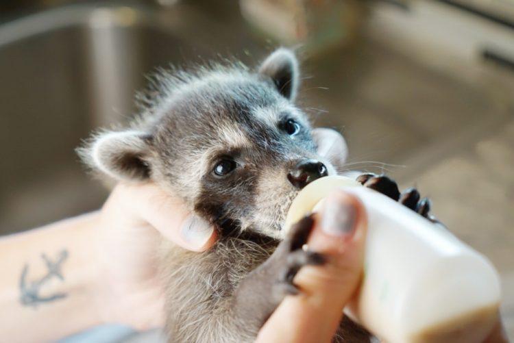 bebe-mapache-consentido-4