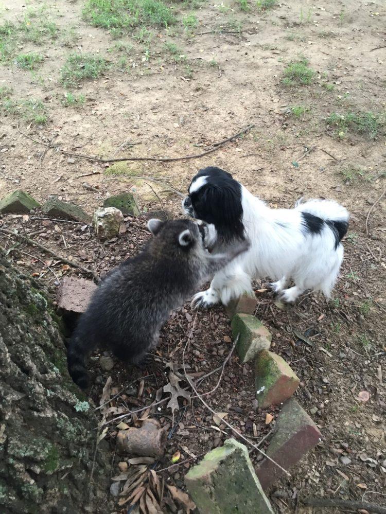 bebe-mapache-consentido-9