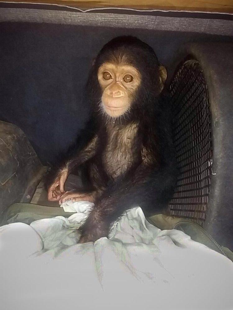 chimpance-jenny-1