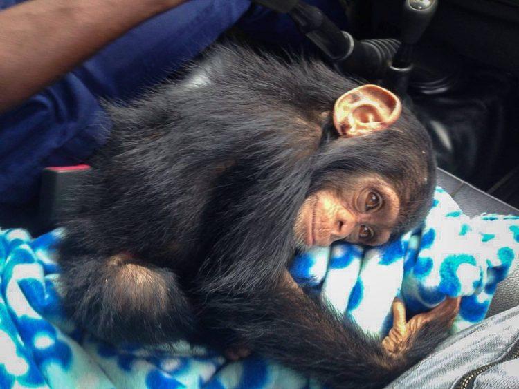 chimpance-jenny-2