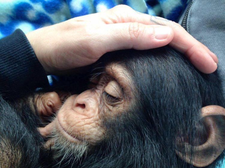 chimpance-jenny-3