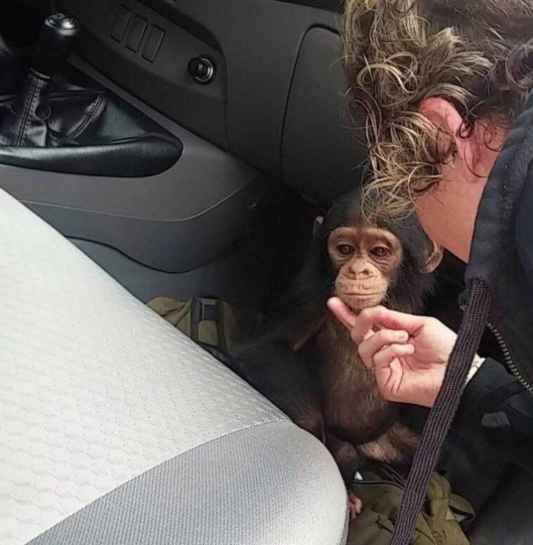 chimpance-jenny-4