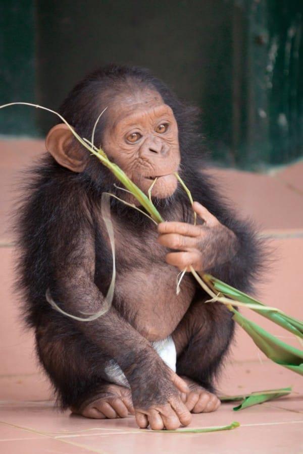 chimpance-jenny-5