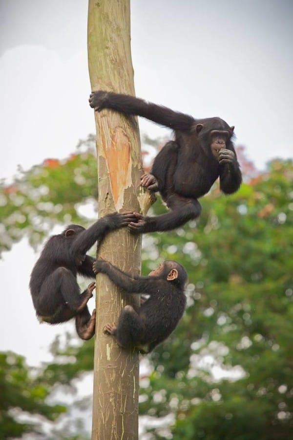 chimpance-jenny-6