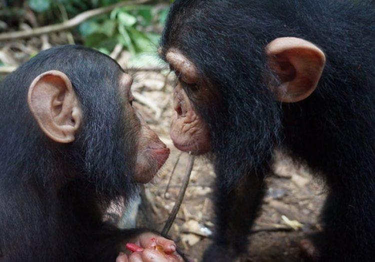 chimpance-jenny-8