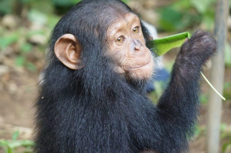 chimpance-jenny-9