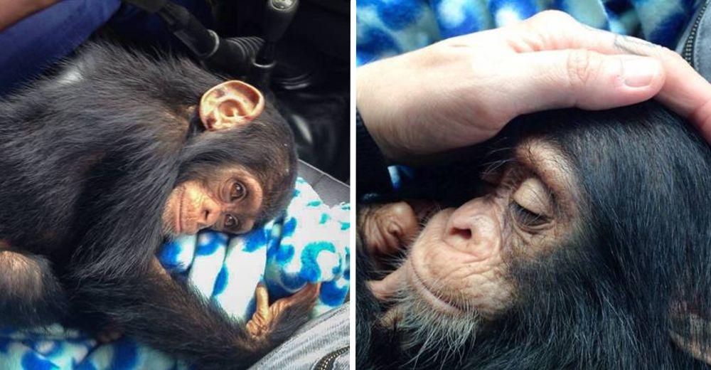 chimpance-jenny