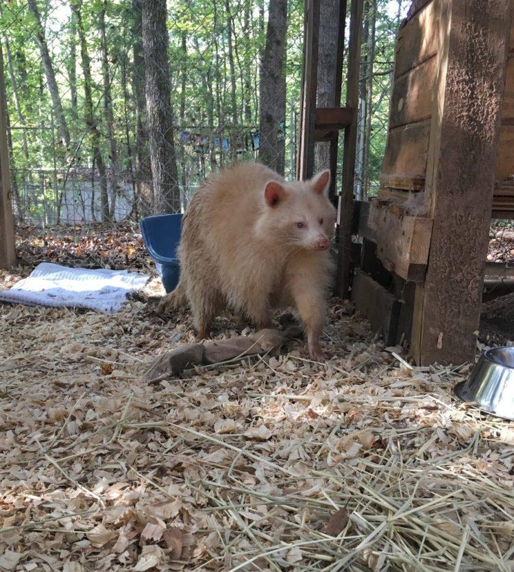 mapache-albino-1