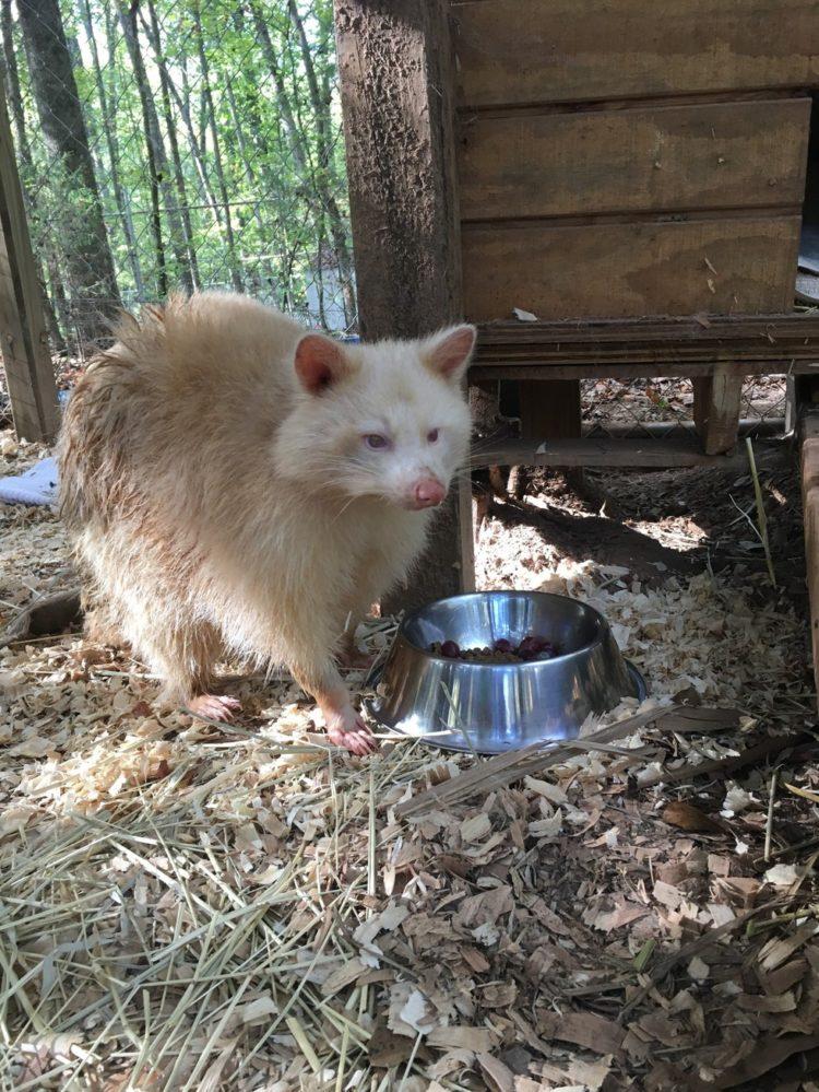 mapache-albino-3