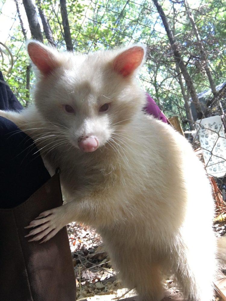 mapache-albino-4
