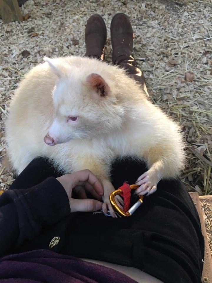 mapache-albino-6