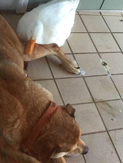 pato-perro3