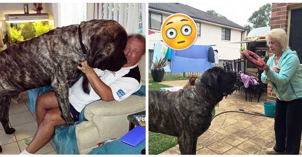 perro-gigante-113-kg