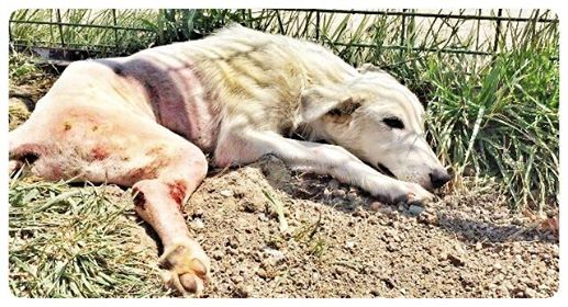 perro-paralizado-lawson-1