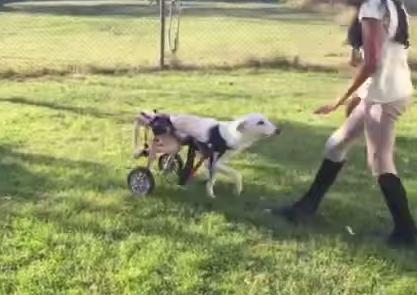 perro-paralizado-lawson-6