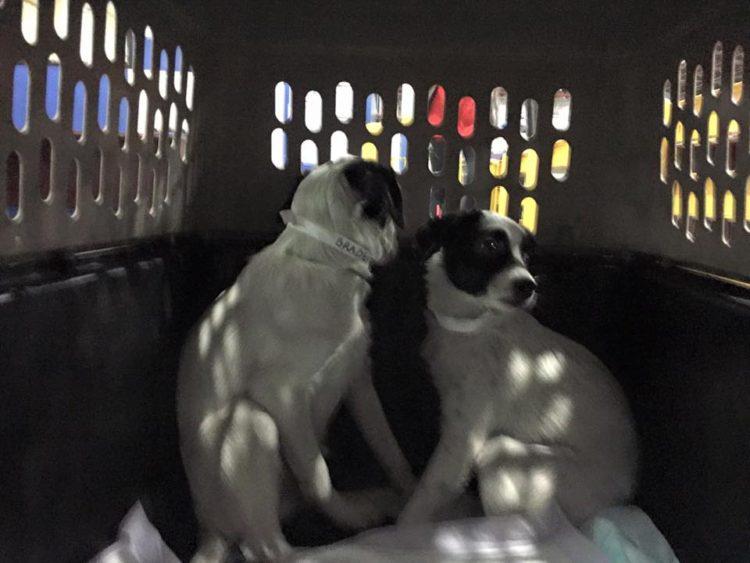 perros-puerto-rico5