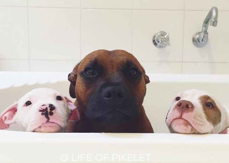pit-bulls-cuidan-cachorros-5